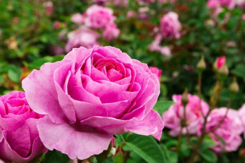 od sadzonki po krzew rozy